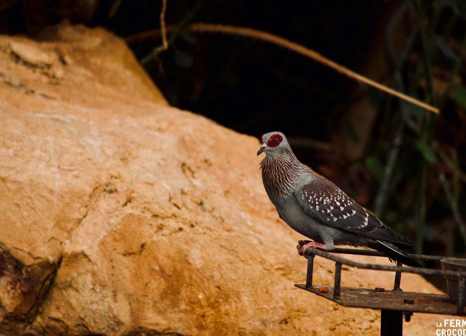 colombe de guinée - ferme aux crocodiles